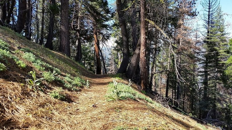 The Sugar Bowl Trail is often covered in soft needles.