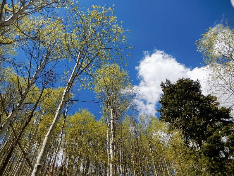 Aspen groves just begin to leaf out as we turn the corner into spring.