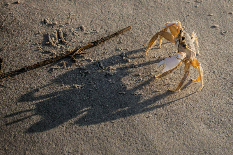 Look for the ghost crab along the beachfront.