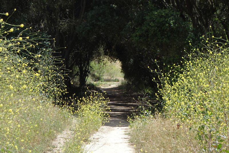 A tunnel of vegetation grows in Tecolote Canyon.