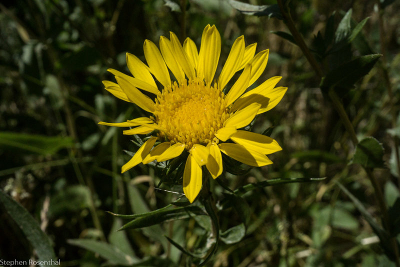 Gumweed, an attractive native plant in the summer, grows in many places along the trail.
