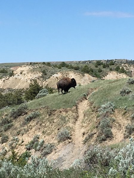 Bison are frequently seen on this trail – give them a wide berth.