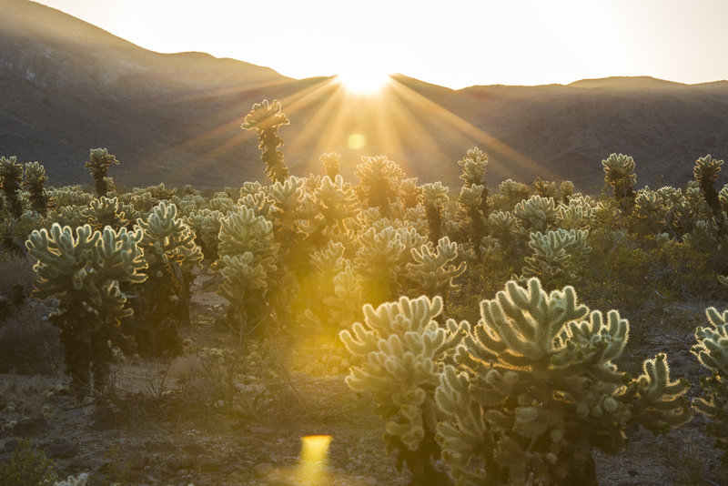 Droves of cholla are highlighted by the setting sun at Cholla Cactus Garden. Photo credit: NPS/Brad Sutton.
