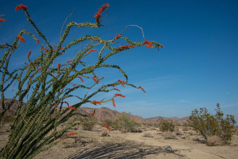 Ocotillo blooms brighten the Bajada Nature Trail. Photo credit: NPS/Lian Law.