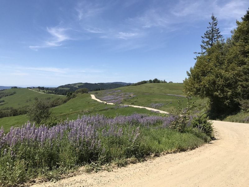 Spring lupine flowers along Bald Hills Road in Redwood National Park.