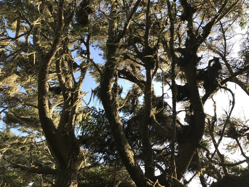 Lichen grows on Sitka spruce trees off the Hammond Trail.