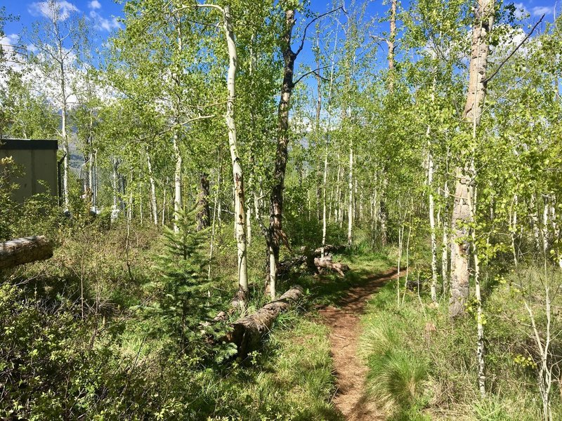 A beautiful aspen grove stands near the top of the Sunnyside Trail.