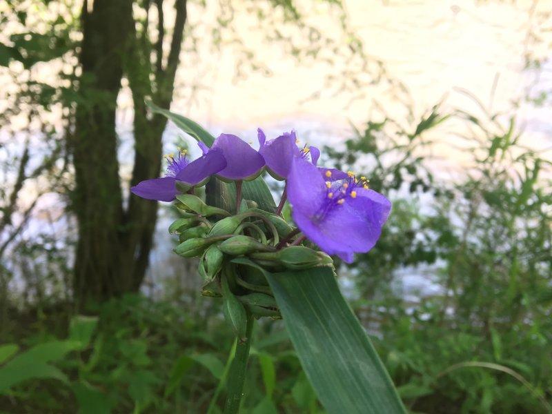 Wildflowers bloom in earnest along the Horne Creek Trail.