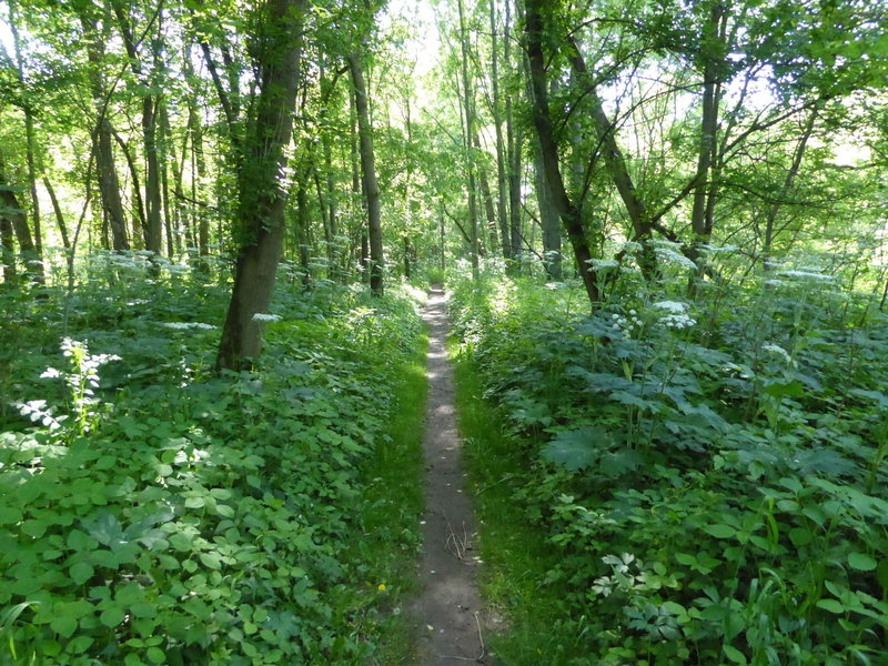 Dense undergrowth surrounds the Heron Rookery Trail in May, surrounding the visitors with wildflowers.