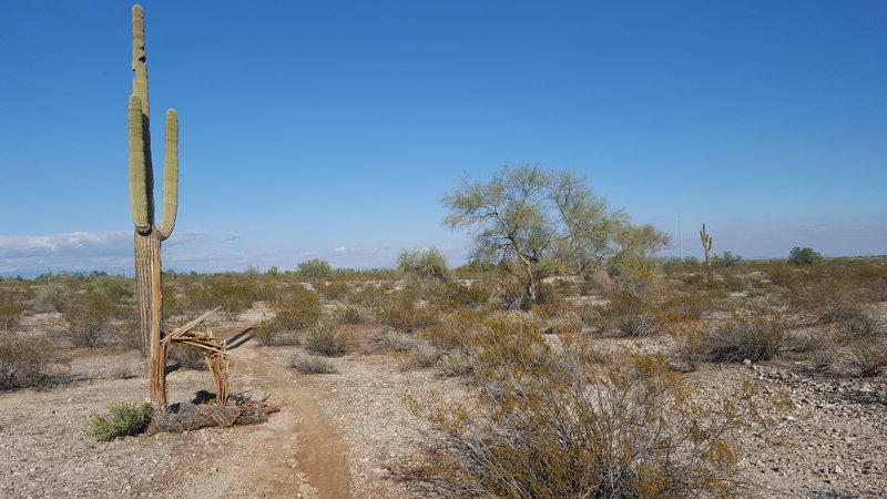A lone cactus stands beside this section of the Maricopa Trail.