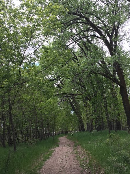 Cottonwood forest along the Fort Mandan Nature Trail.