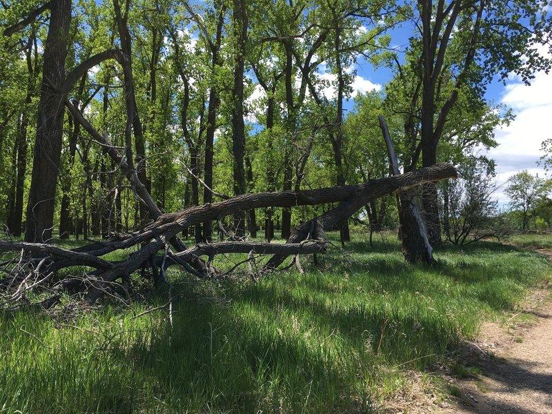 Cottonwoods along the Wetlands Trail.