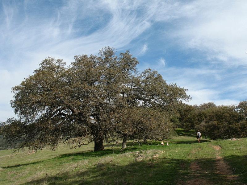 Trees line the Santa Ysabel Ridge Trail.