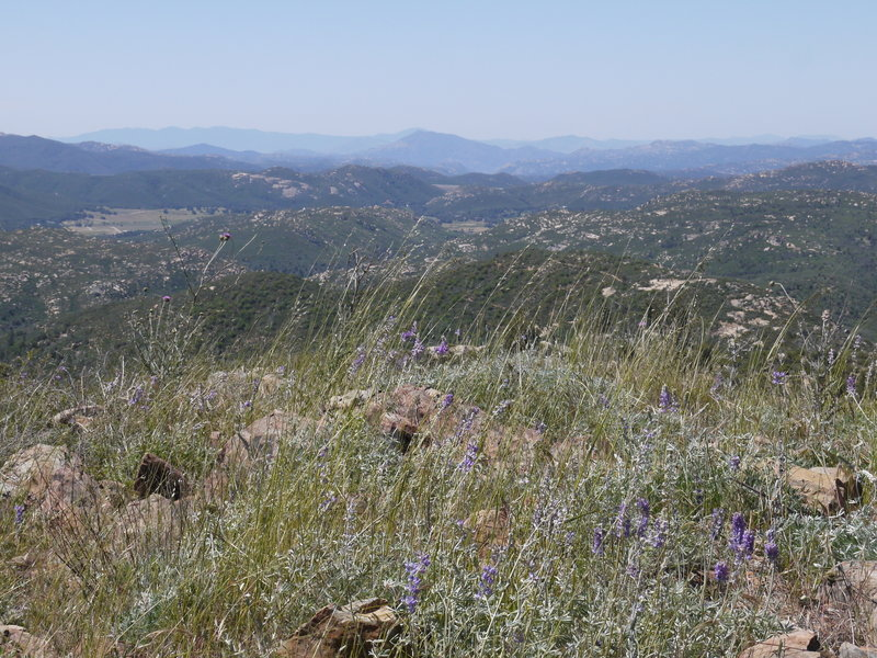 Wildflowers bloom on the West Mesa Trail in Cuyamaca State Park.