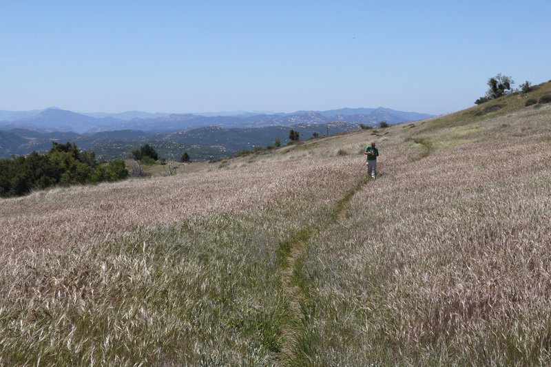 At times, the West Mesa Trail is nearly swallowed by grass.