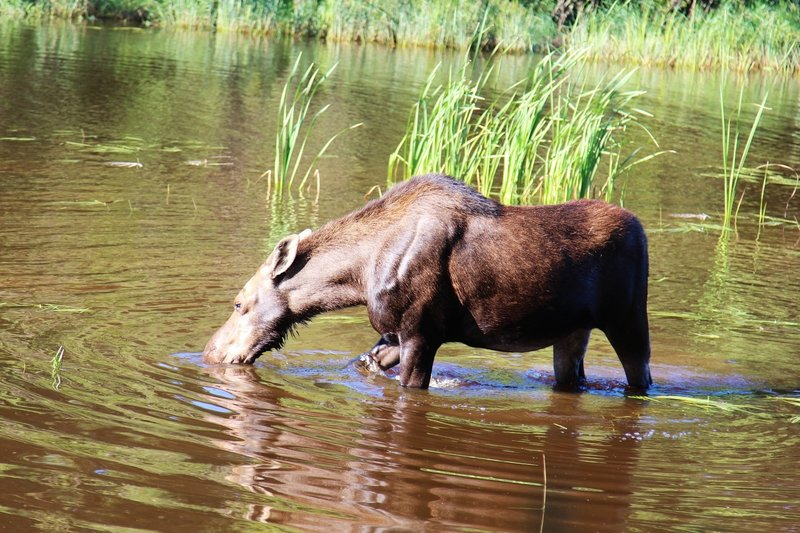 Moose can be spotted near the Washington Creek Trail.
