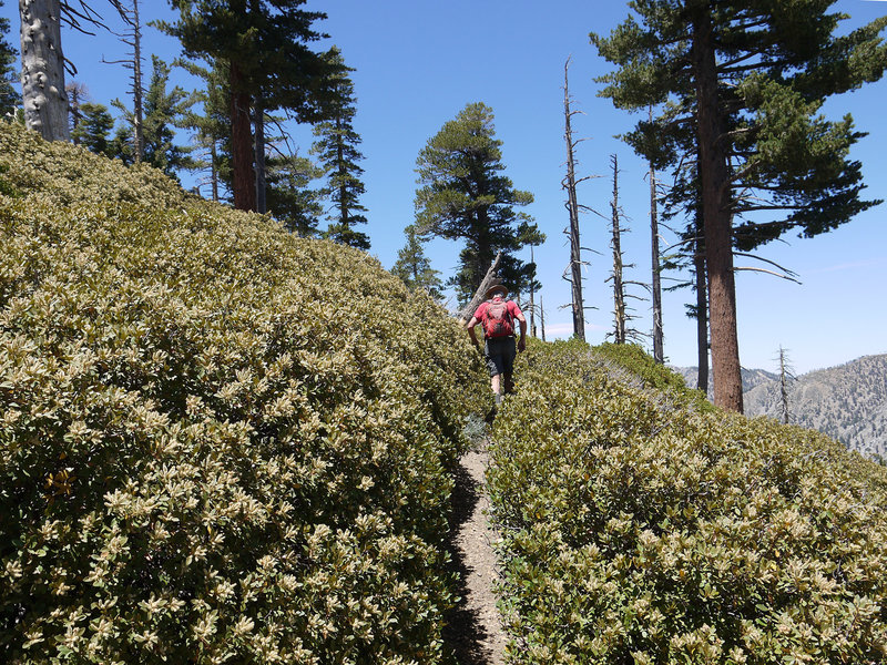 The Ontario Peak Trail is crowded by manzanita in place.