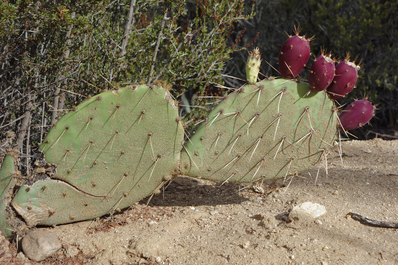 A water-stressed cactus limps through the heat during the drought of 2016.