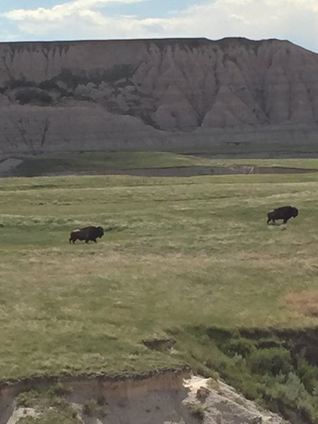 Bison roam the basin in the shadow of a beautiful butte.