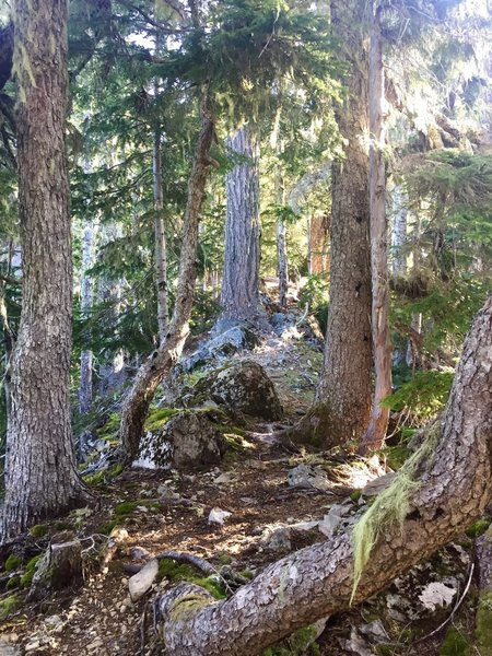 An enchanting forest hallway ushers you through the trees along the Copper Creek Trail.