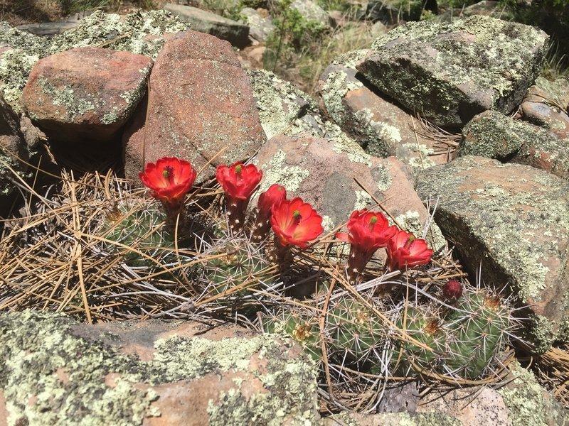 Flowering Cactus poke through a scattering of pine needles.