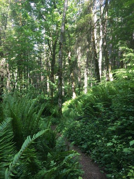 Lots of lush foliage surrounds the Shy Bear Trail.