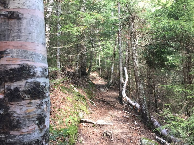 The bottom of the trail Hi-Cannon Trail meanders through a conifer forest.
