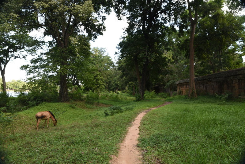 A grazing horse enjoys the grass along the Angkor Wat Wall Trail.