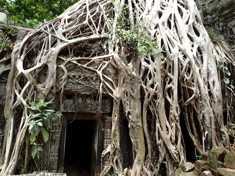 The roots and vines of the jungle are hard at work reclaiming the temple.