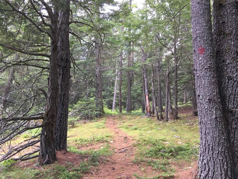 Thick woods open up to some nice pine clearings on the Neville Peak Trail.