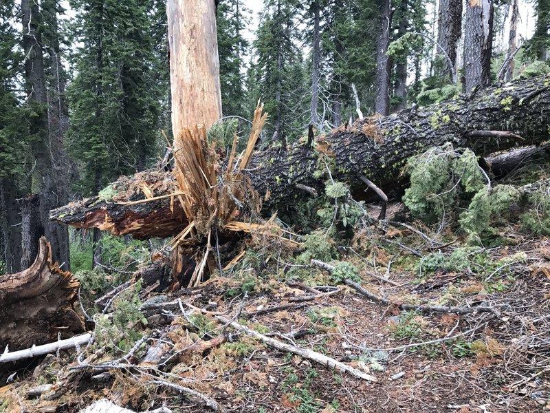 A huge fallen tree blocks Mill Creek Trail in Six Rivers National Forest.
