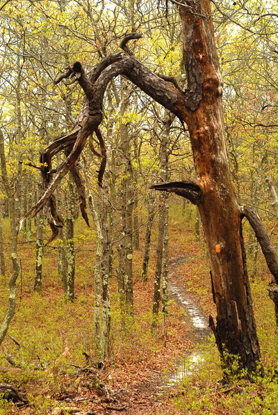There are plenty of gnarled trees to investigate in Manorville Hills County Park.