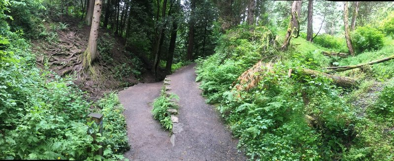 Look out for Root Tree at this Creek Trail fork on the Hoyt Arboretum Loop