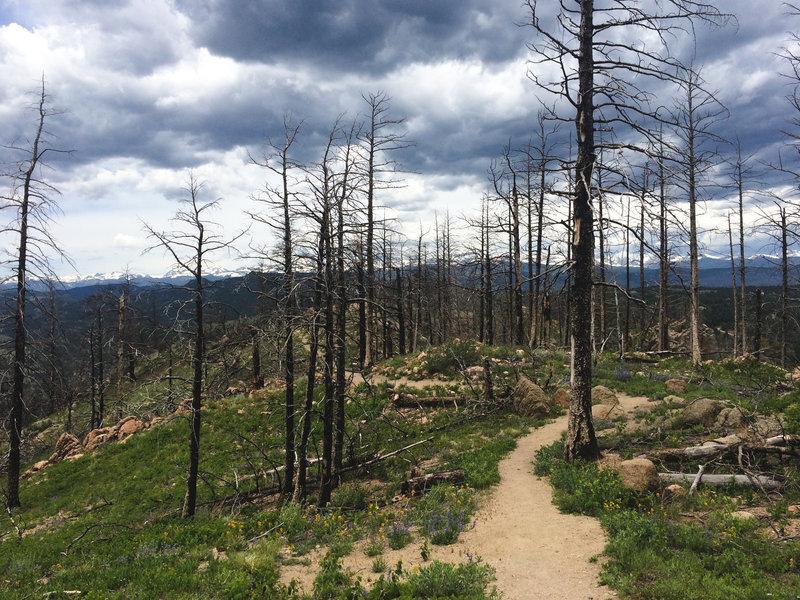 A singed forest is all that's left along this portion of Bear Peak West Ridge.