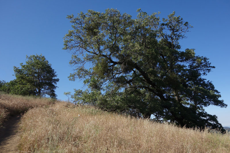 A looming tree stands along the Five Oaks Trail.