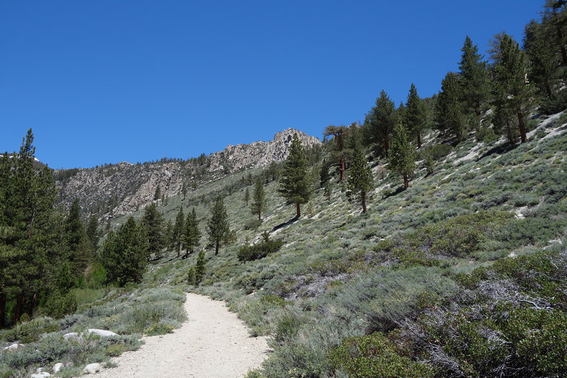 Lodgepole pines and sage line the North Fork Big Pine Creek Trail.