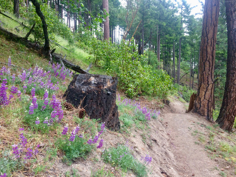 In the summer, mountain lupine and ponderosa grow on the Lewis Loops.