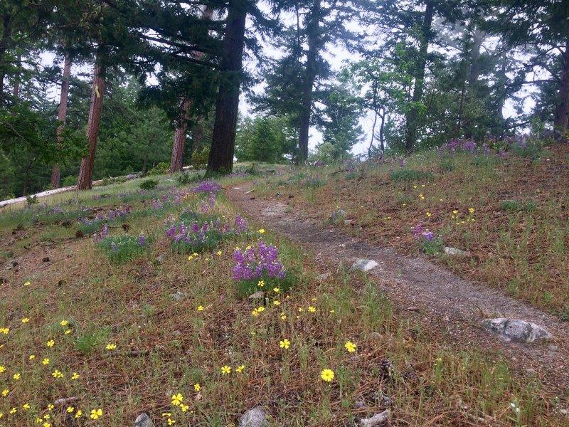 Wildflowers bloom into June on the Lewis Loops.