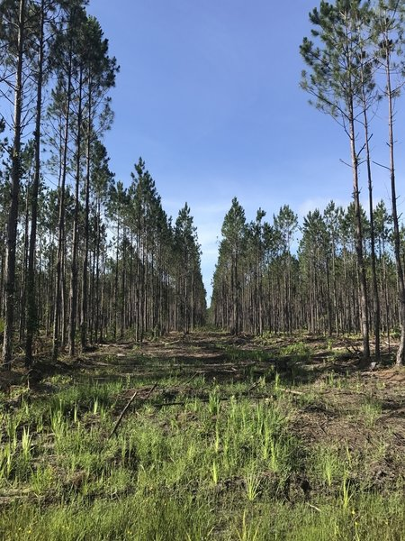 The majority of the pine stands range in age from about 10 to 30 years old.
