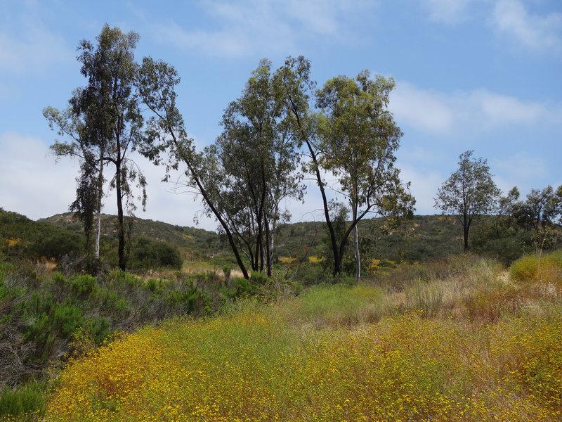 Sycamores flourish along the Rancho Tonyon Trail.