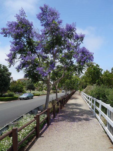 A jacaranda tree livens up an otherwise sterile suburban neighborhood along the multi-use trail.