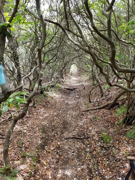 The trail follows a really nice tunnel through the trees.