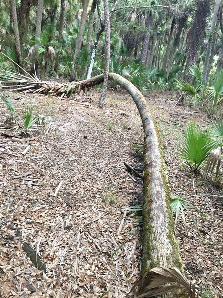 A cabbage palm snakes its way around a pine tree within the palm hammocks.