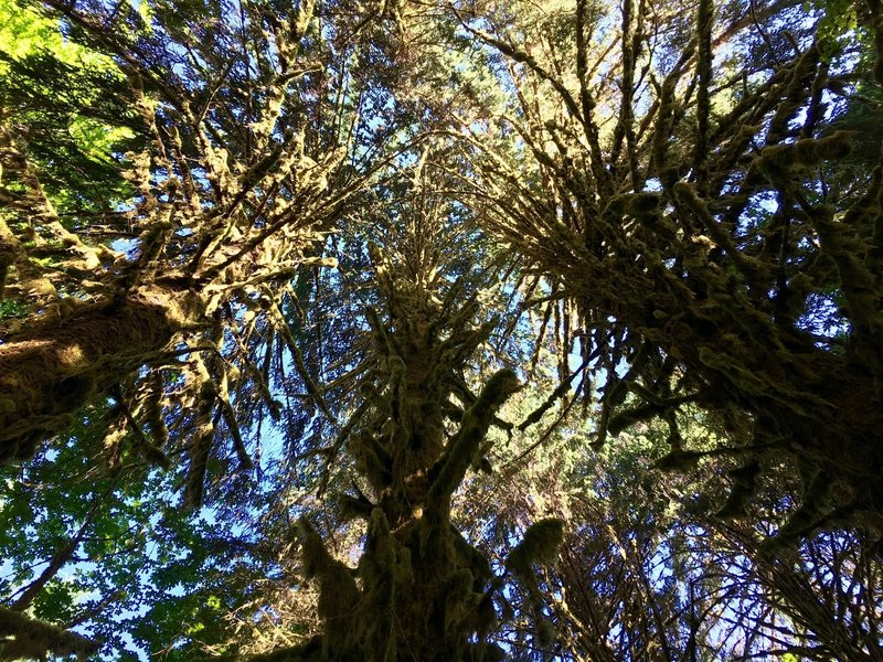Incredible moss-covered maple trees grow in the Hoh Rainforest.