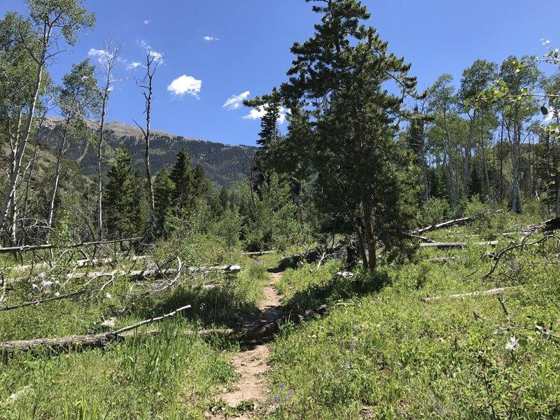 Head east up the Acorn Creek Trail to views up toward the ridge objective. Colorado blue columbine dot the trail.