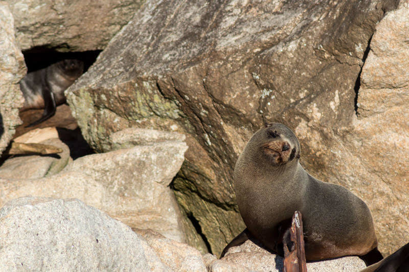 A fur seal soaks up the sun at Separation Point.