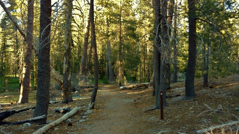 Lily Pond Trail meanders through the pines with numbered posts corresponding to descriptions in the self-guided trail pamphlet.