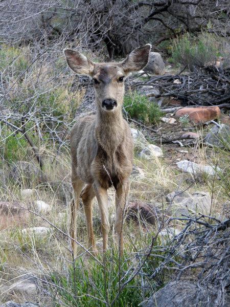 Deer graze near Bright Angel Campground.