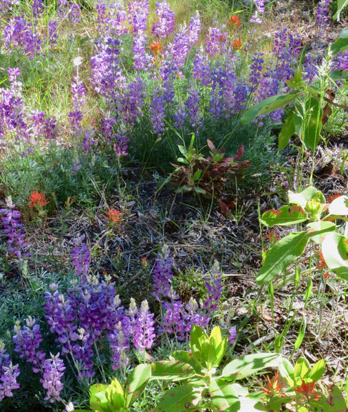 Fell on Knee displays dense pockets of lupine and paintbrush.