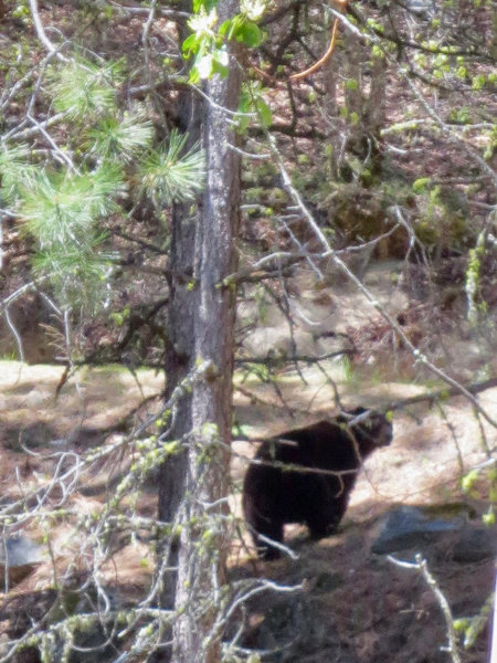 A black bear looks for food along the Fell on Knee Trail.